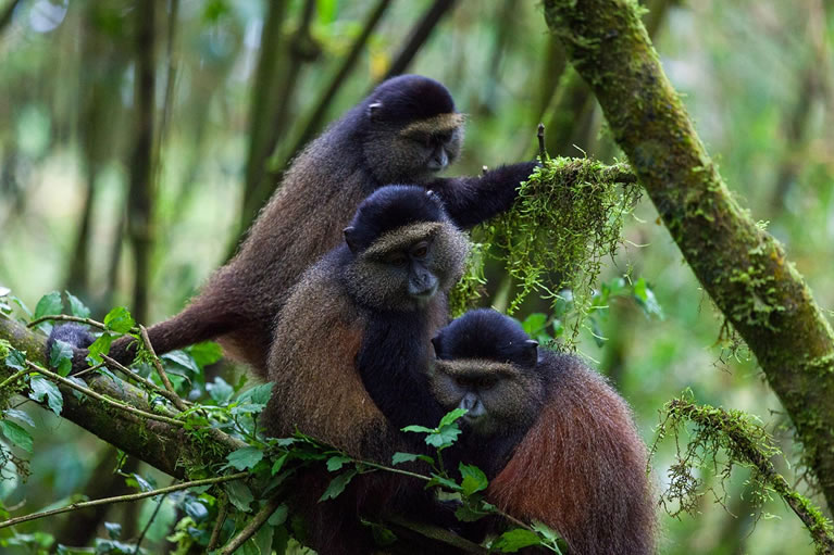 Golden Monkey Tracking Expeditions