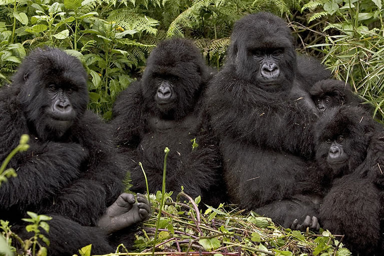 Mountain Gorilla Trek