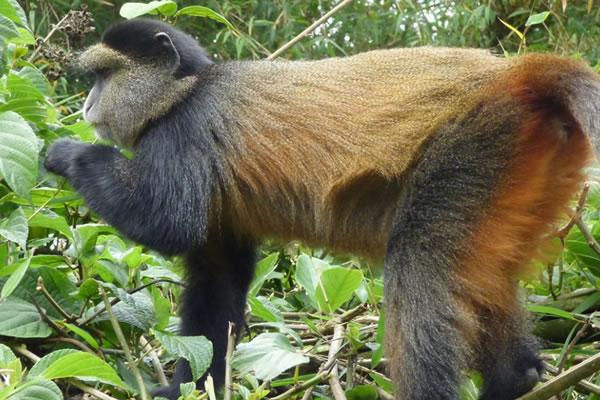 5 Day Gorilla & Golden Monkeys