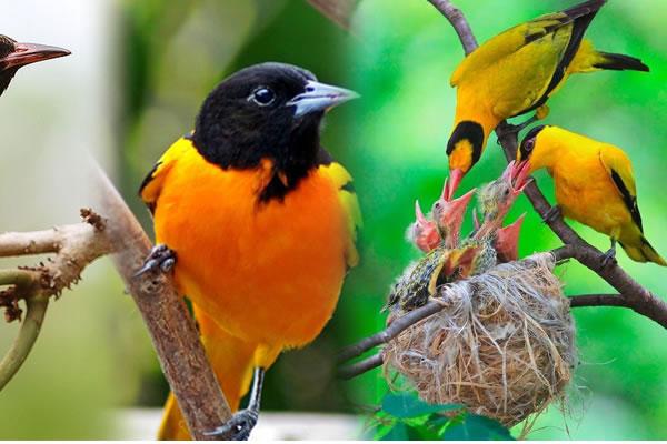 4 Day Uganda Birding