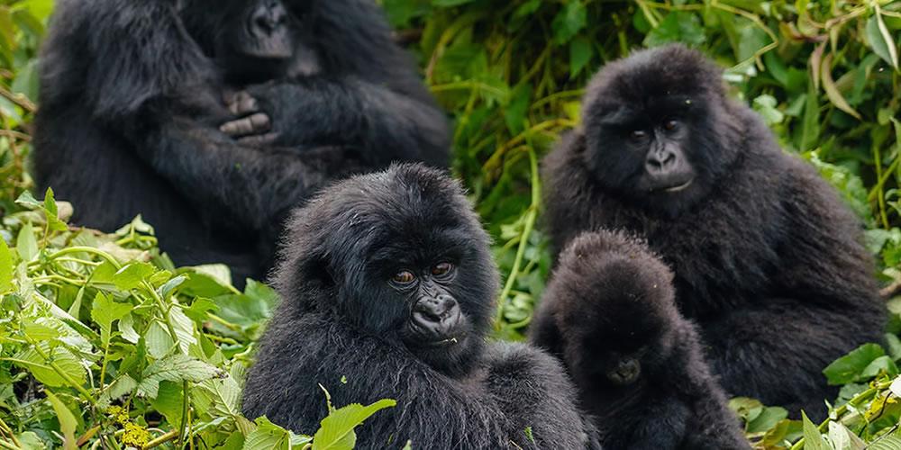 Uganda Mountain Gorillas